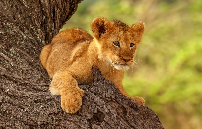 Photo wallpaper pose, animal, predator, trunk, cub, lion