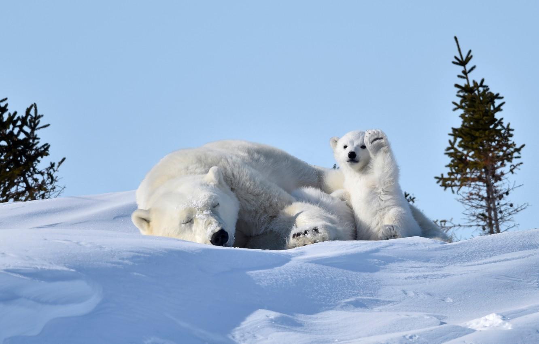 Photo wallpaper snow, stay, bears, bear, white, bear