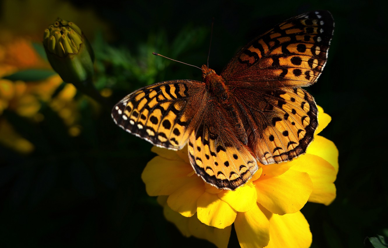 Photo wallpaper flower, macro, yellow, the dark background, butterfly