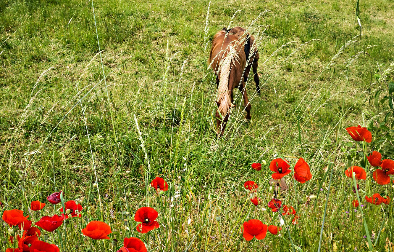 Photo wallpaper flowers, horse, horse, Maki, meadow, grazing
