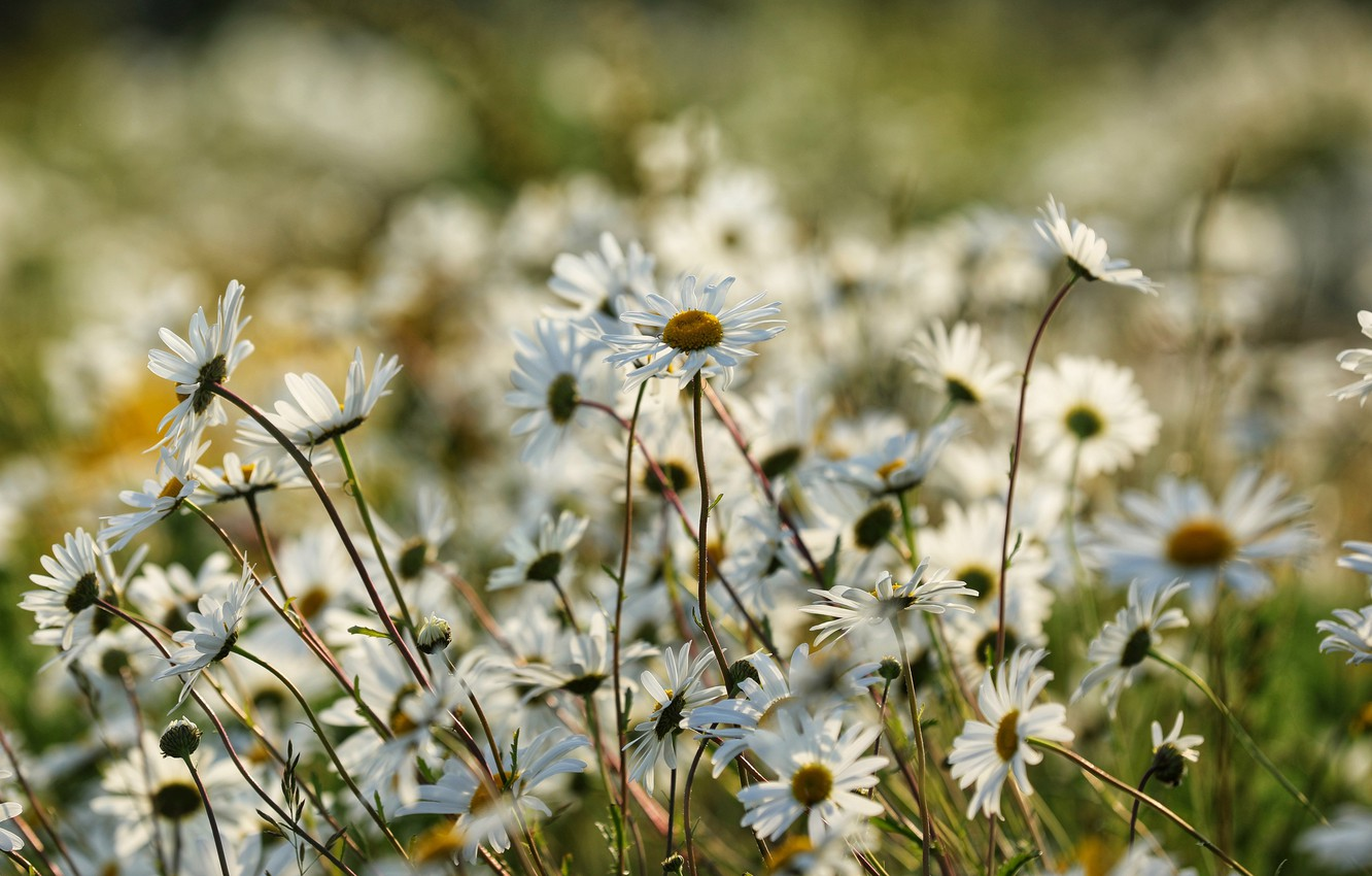 Photo wallpaper field, summer, light, flowers, nature, background, stems, glade, chamomile, meadow, white, a lot, bokeh, blurred, …
