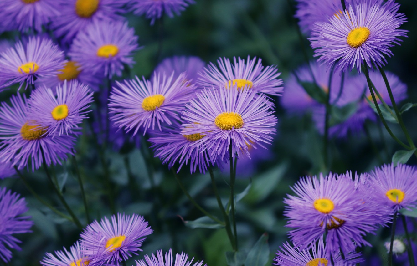 Photo wallpaper flowers, background, Bush, garden, a lot, lilac, asters