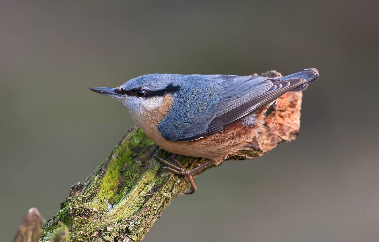 Photo wallpaper bird, snag, nuthatch