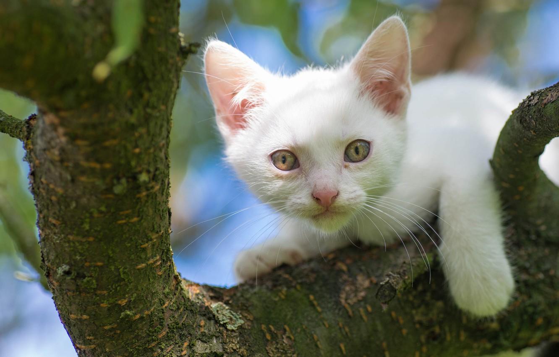 Photo wallpaper white, look, tree, muzzle, kitty, on the tree