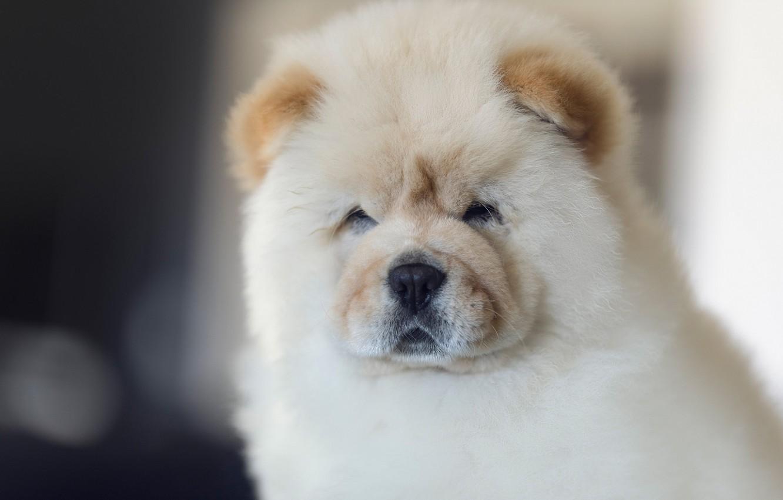 55+ Chow Dog Puppy