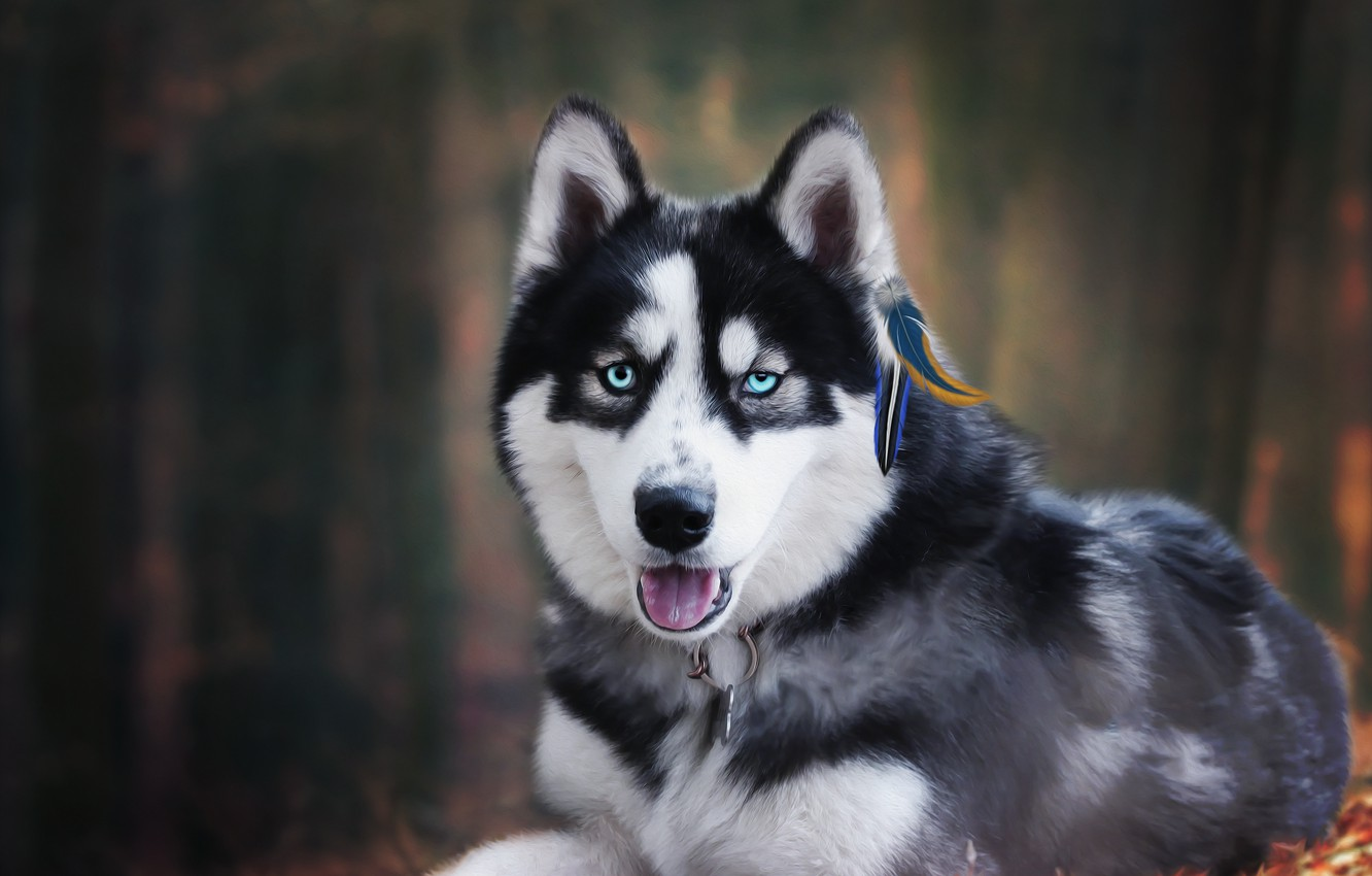 Photo wallpaper forest, background, each, husky
