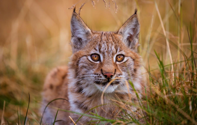 Photo wallpaper cat, grass, eyes, look, kitty, background, portrait, red, cute, lies, kitty, lynx, face, wild cat, …