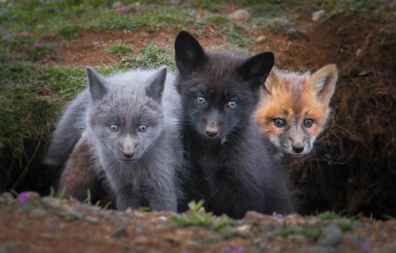 Photo wallpaper trio, cubs, cubs, Trinity