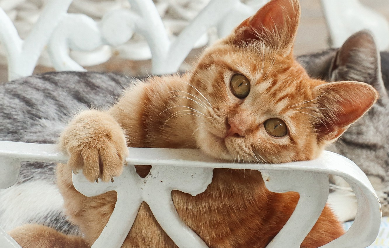 Photo wallpaper cat, cat, look, red, muzzle, cat