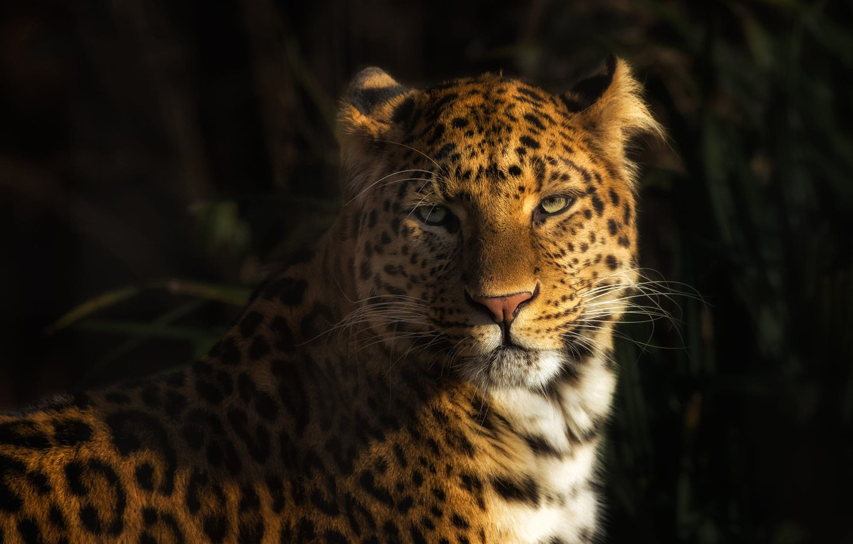 Photo wallpaper look, face, light, green, background, leopard, wild cat