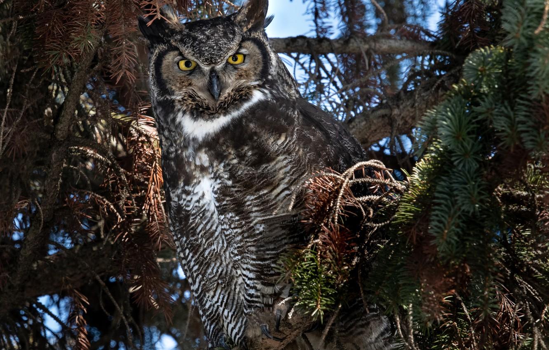 Photo wallpaper trees, branches, nature, owl, bird, coniferous, owl, Virgin Filin, Bubo virginianus, Grand duke of America
