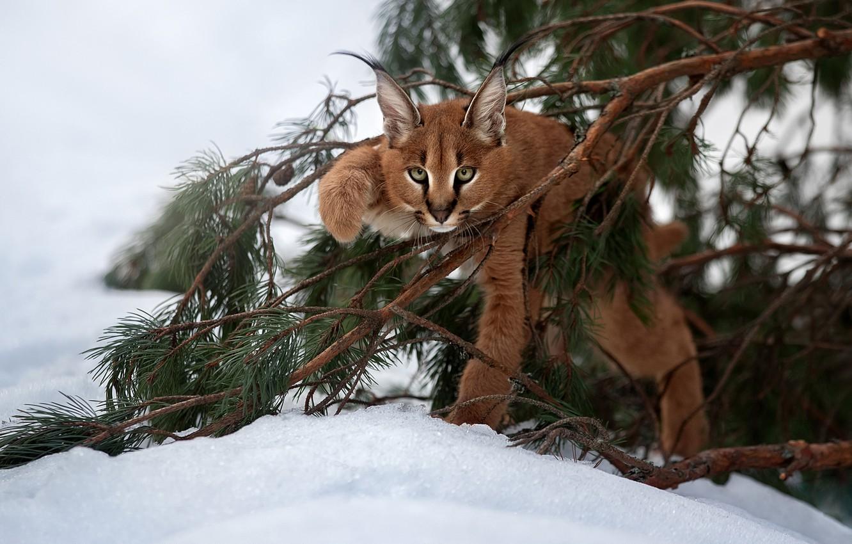 Photo wallpaper snow, branches, cub, kitty, lynx, wild cat, Caracal