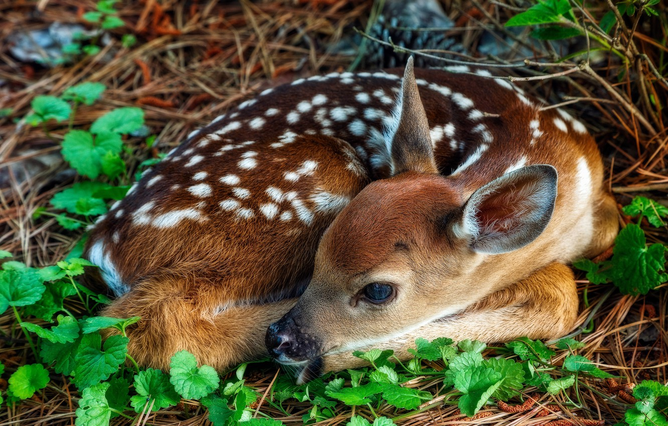 Photo wallpaper look, leaves, pose, Bambi, muzzle, lies, fawn, cub, fawn, white-tailed deer, curled up