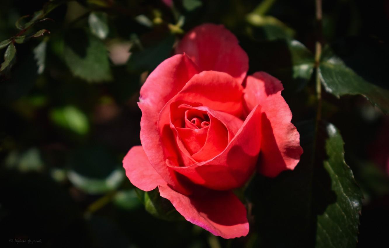 Photo wallpaper pink, rose, Bud