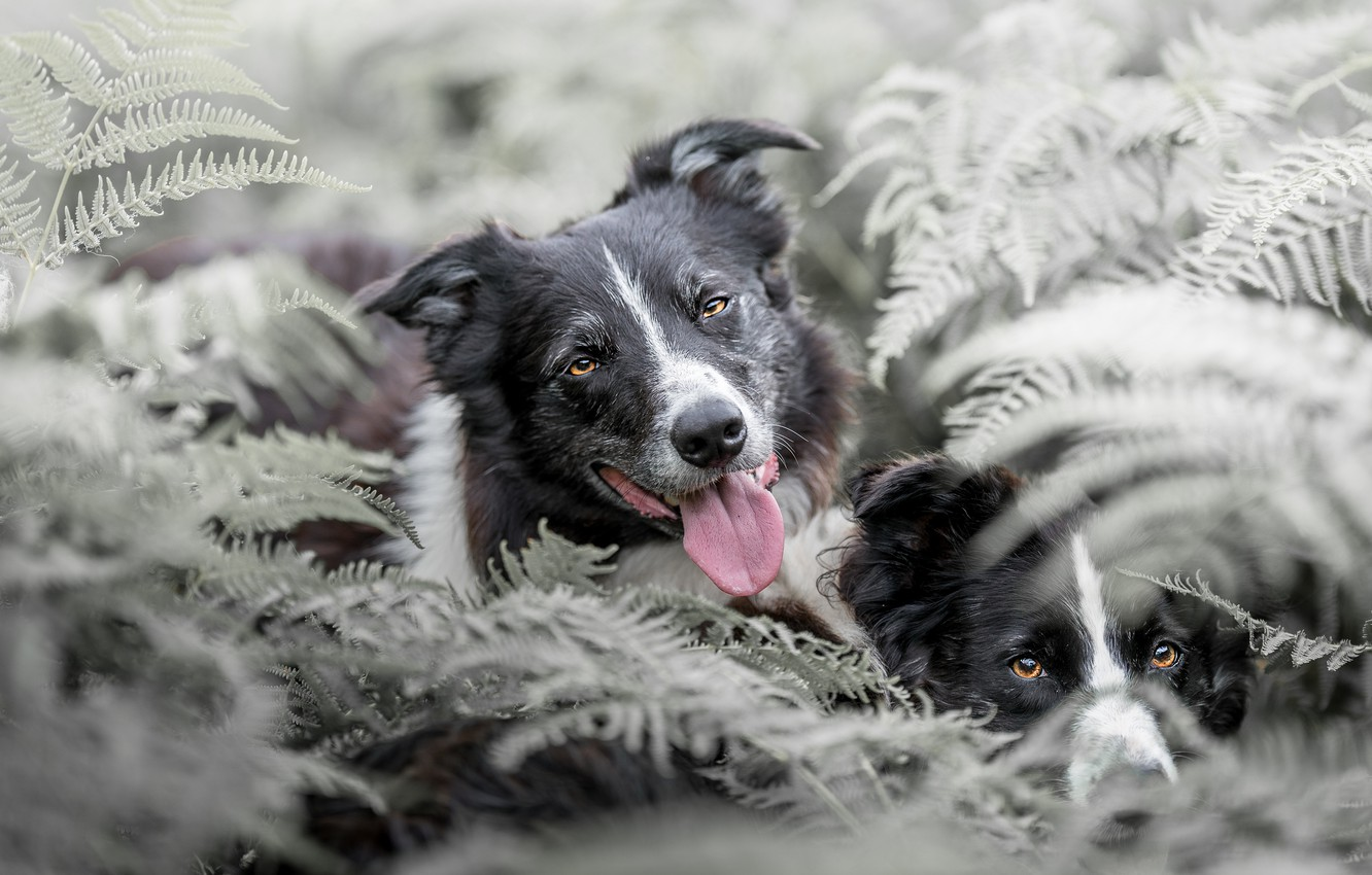 Photo wallpaper dogs, thickets, two, pair, fern, muzzle, the border collie