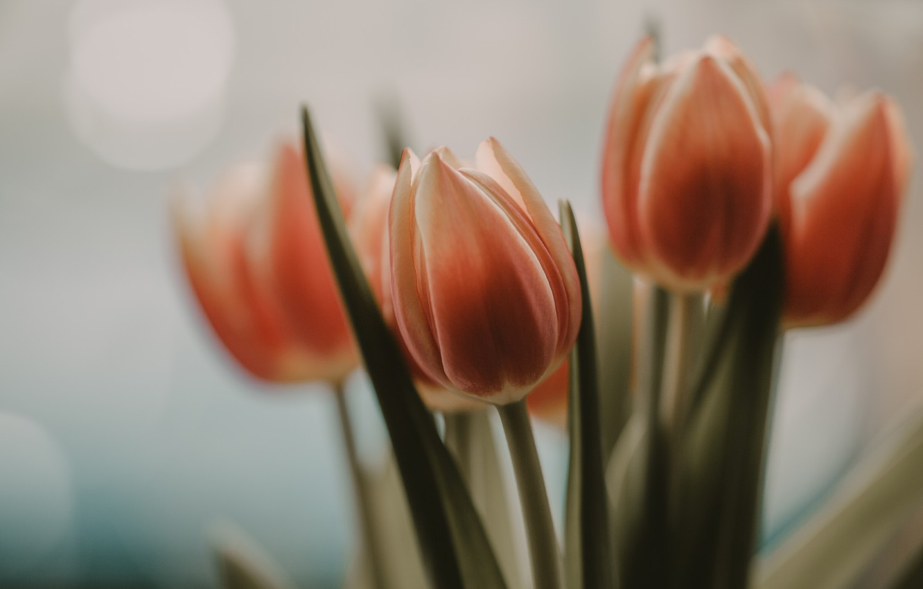 Photo wallpaper flowers, background, tulips