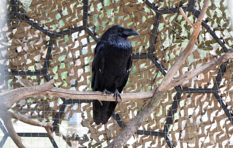 Photo wallpaper look, bird, black, Raven, smart
