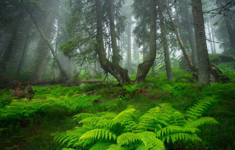 Photo wallpaper forest, trees, fog, forest, fern, trees, fog, fern, Alexandrov Alexander