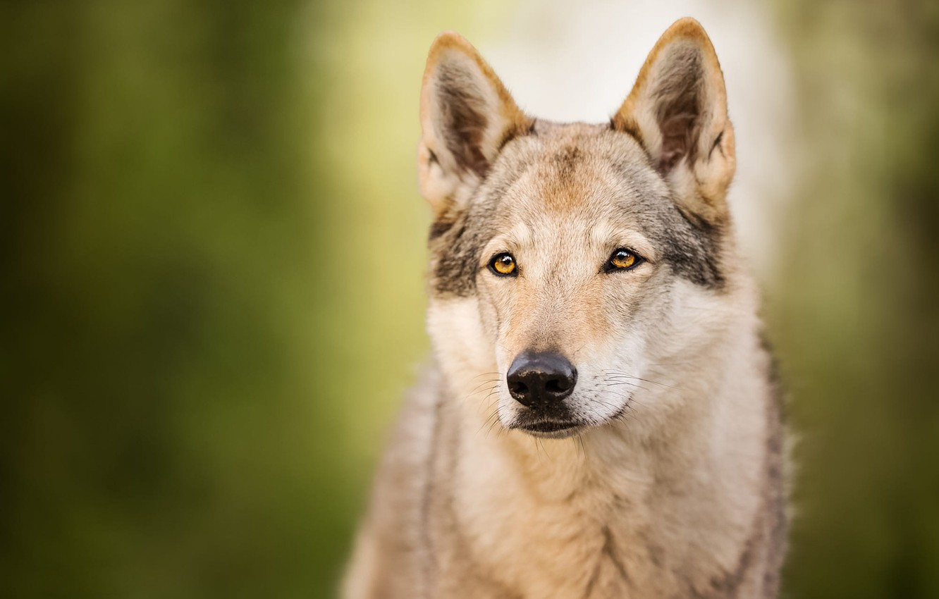 Photo wallpaper look, face, wolf, portrait, dog, green background, dog, bokeh, wolf dog, wolf dog is a …
