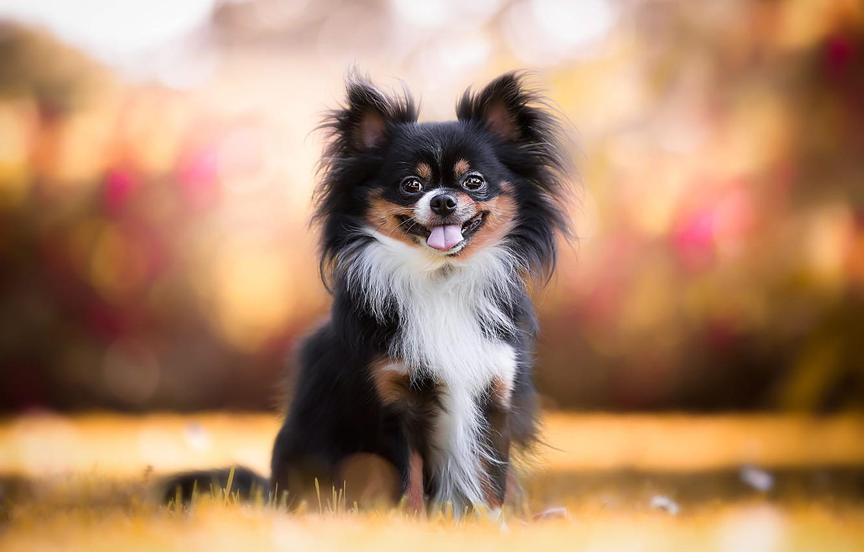 Photo wallpaper autumn, language, grass, orange, background, dog, puppy, dog, baby, bokeh, toy Terrier