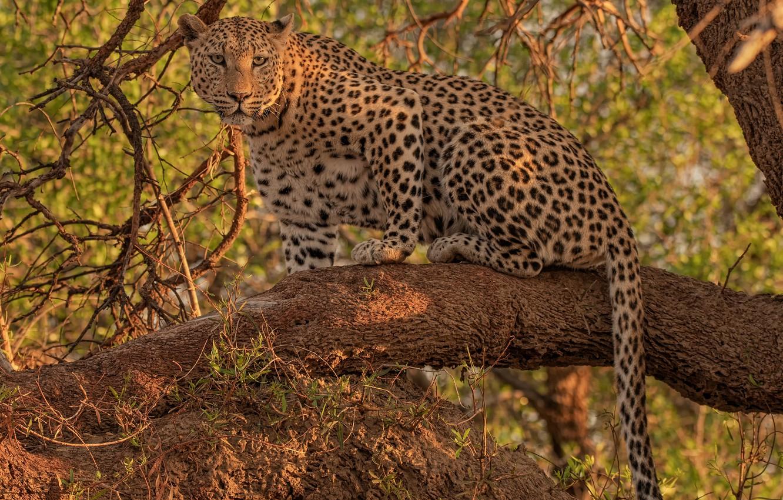 Photo wallpaper look, leopard, wild cat, on the tree