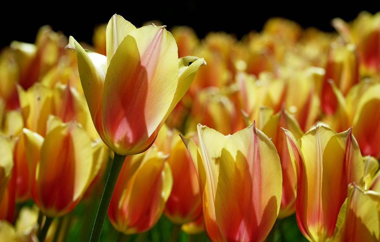 Photo wallpaper macro, light, petals, tulips, buds