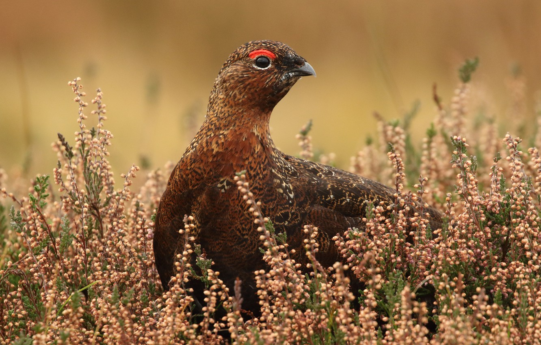 Photo wallpaper flowers, nature, background, bird, motley, quail, quail
