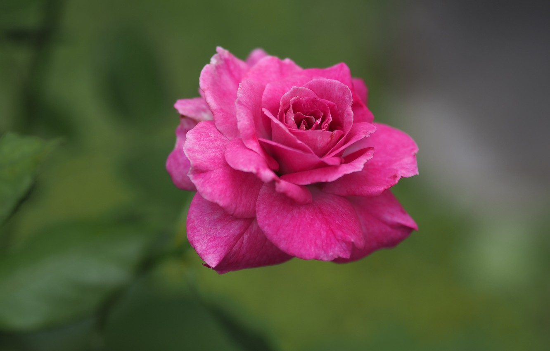 Photo wallpaper flower, pink, green background, bokeh, of APE