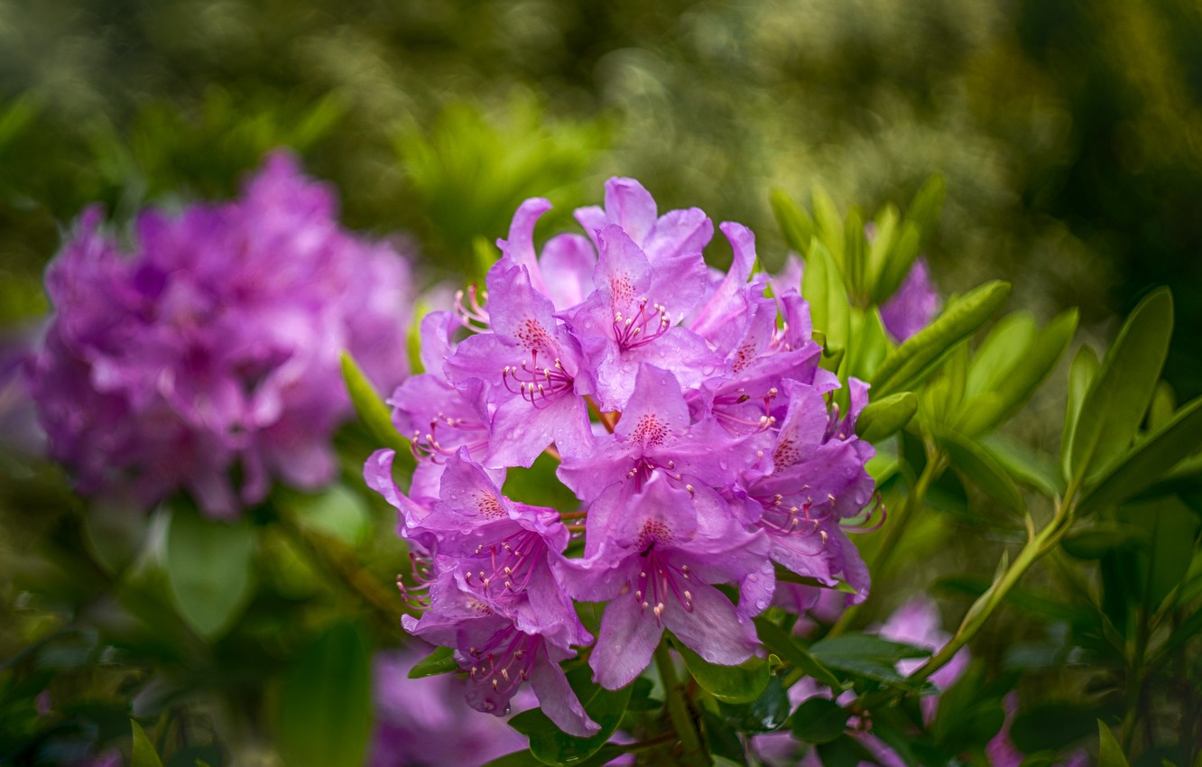 Photo wallpaper leaves, drops, flowers, background, spring, flowering, lilac, bokeh, Azalea, rhododendrons