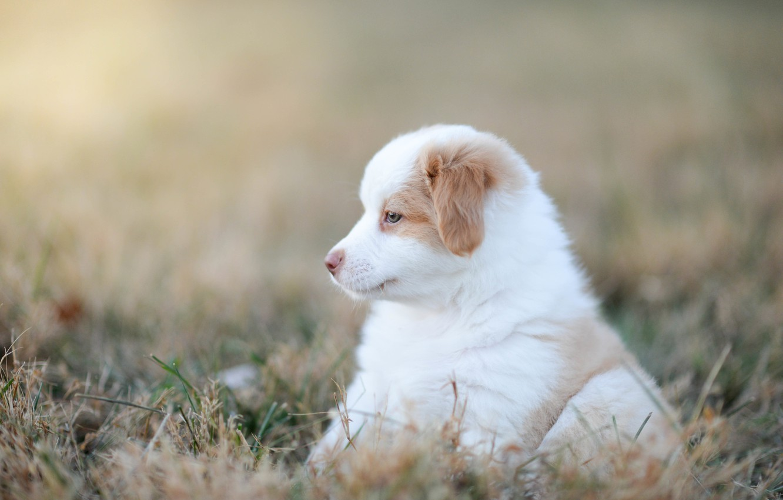 Photo wallpaper grass, baby, puppy, bokeh, doggie, Australian shepherd, Aussie