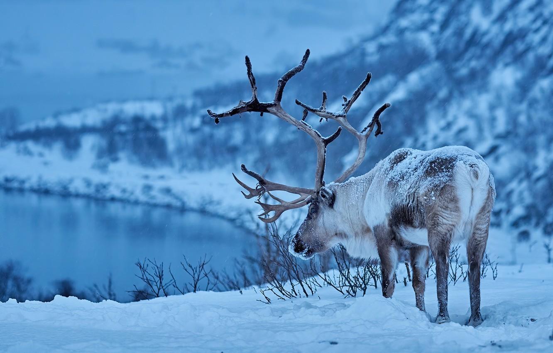 Photo wallpaper winter, snow, deer, horns, Reindeer