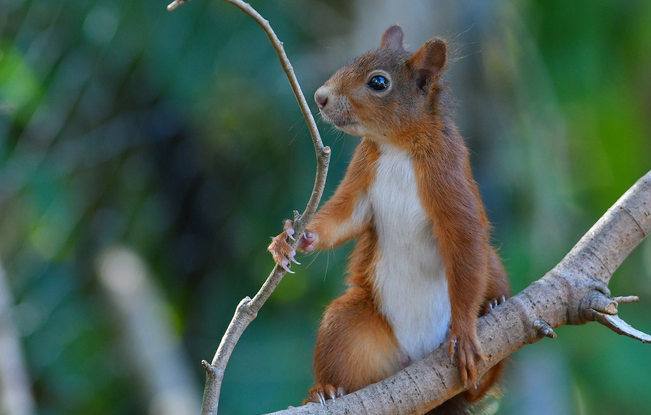 Photo wallpaper branch, protein, red, bokeh, rodent, pet