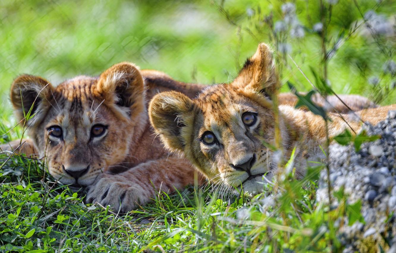 Photo wallpaper grass, pair, the cubs, a couple, lion, muzzle, lie, bokeh, two lion