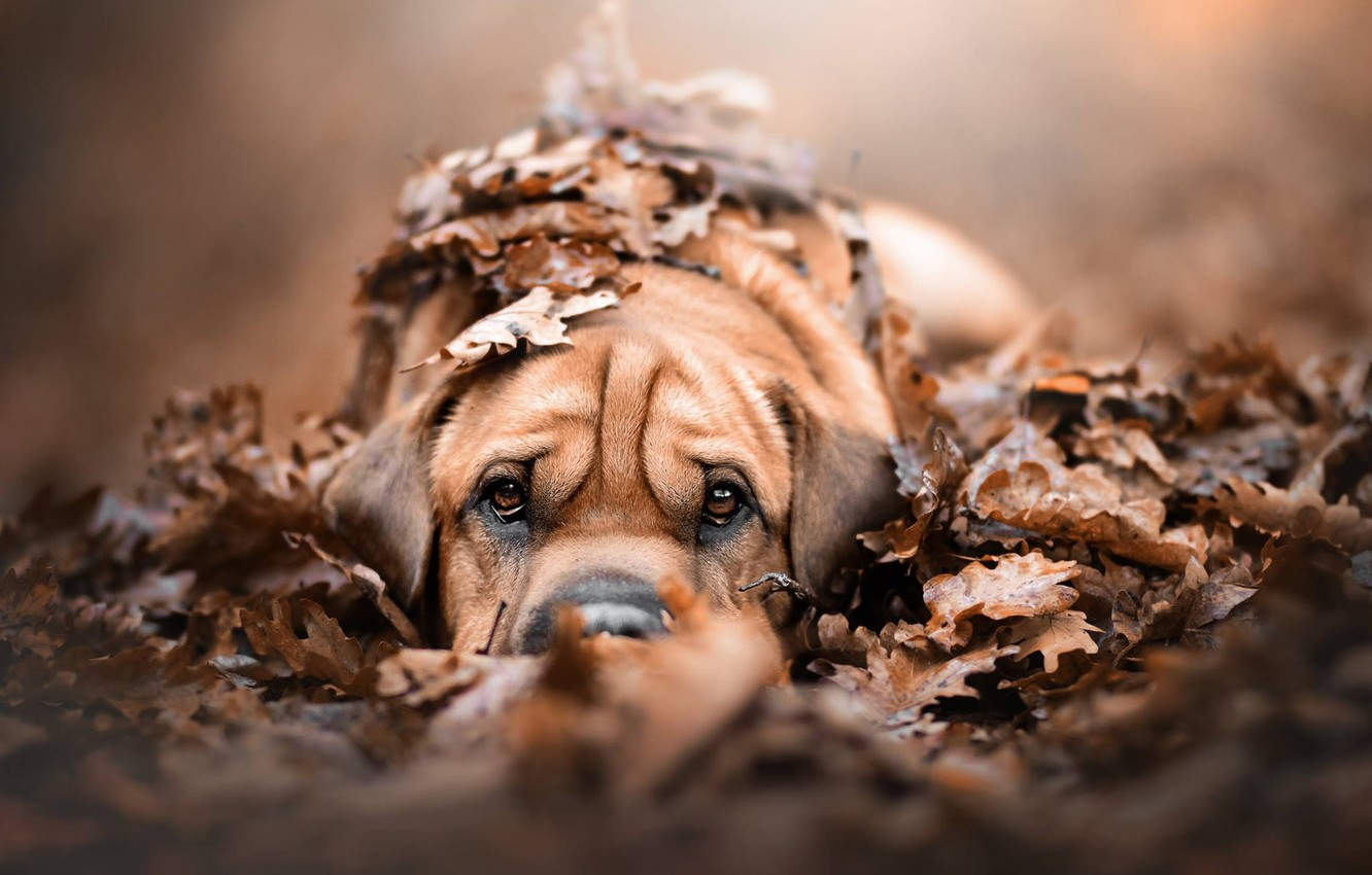 Photo wallpaper autumn, look, leaves, foliage, dog, puppy, face, doggie