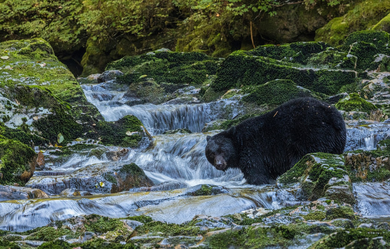 Photo wallpaper stream, stones, moss, bear, Baribal, Black bear