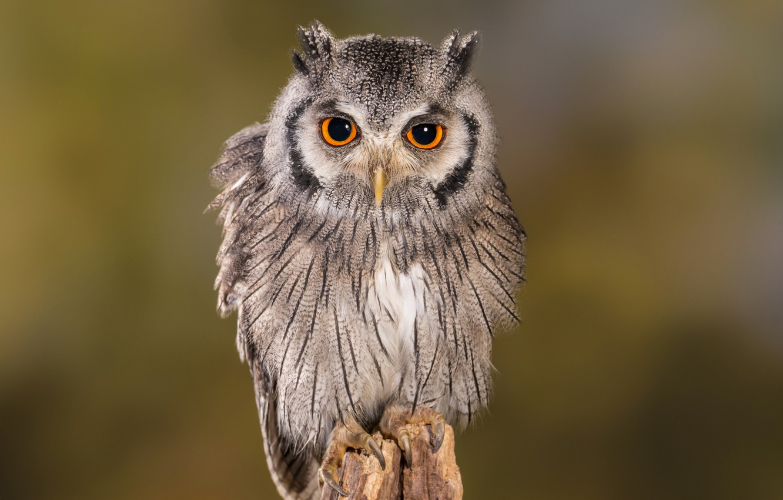 Photo wallpaper owl, bird, beak, owlet