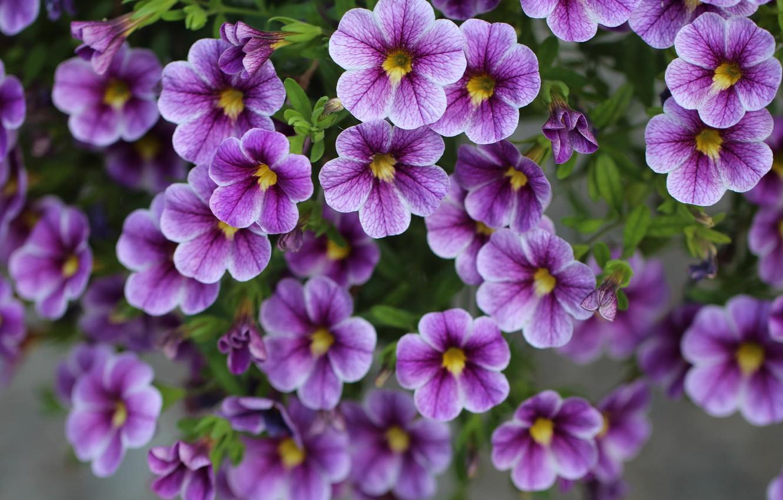 Photo wallpaper purple, flowers, Calibrachoa