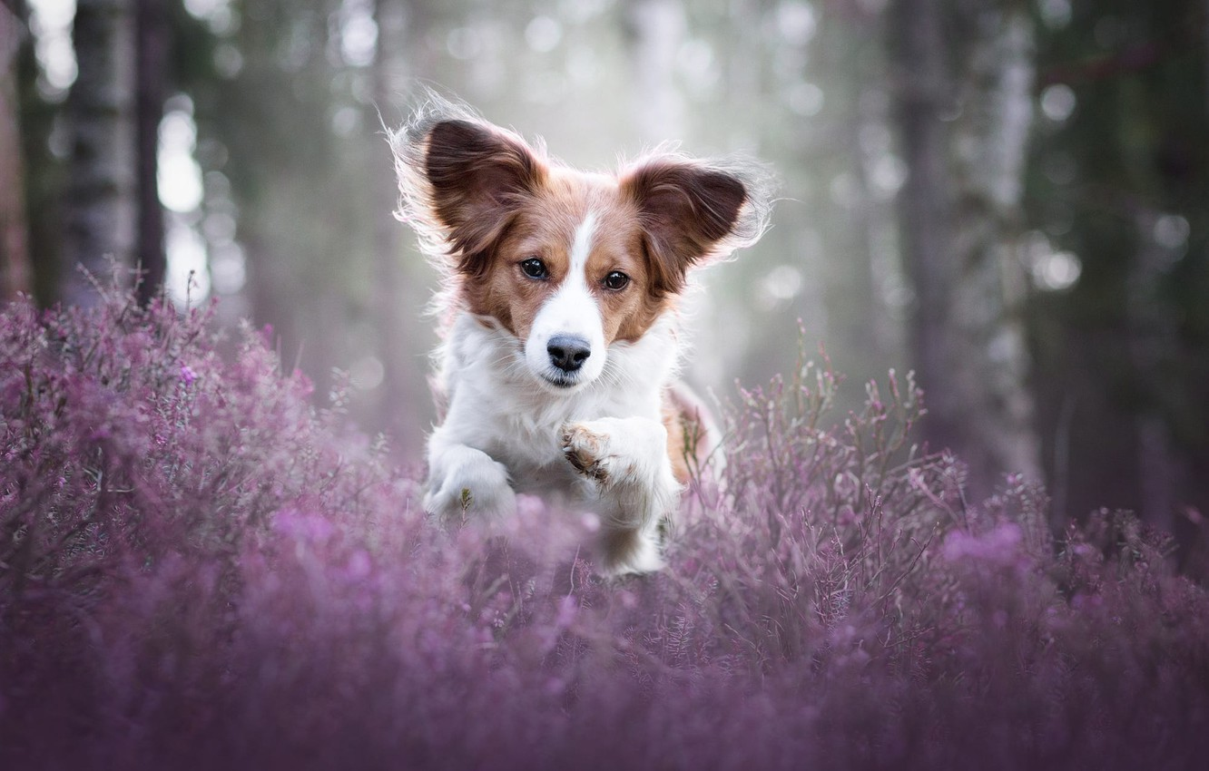 Photo wallpaper forest, face, light, flowers, nature, pose, glare, Park, background, mood, jump, sweetheart, glade, portrait, dog, …
