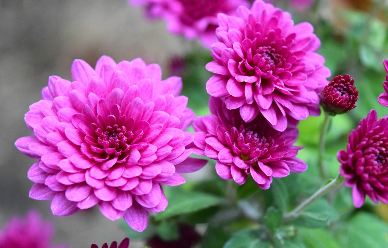 Photo wallpaper autumn, chrysanthemum, the color purple, autumn nature