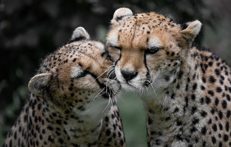 Photo wallpaper nature, animals, cheetahs