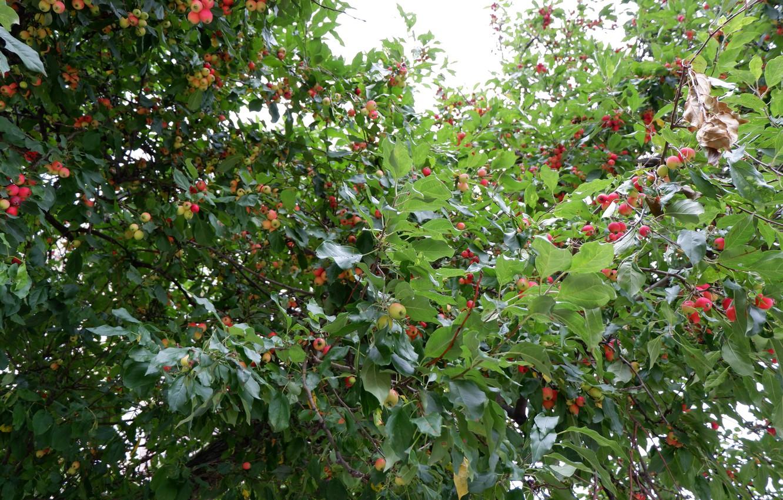 Photo wallpaper red, green, berries, Bush, hawthorn