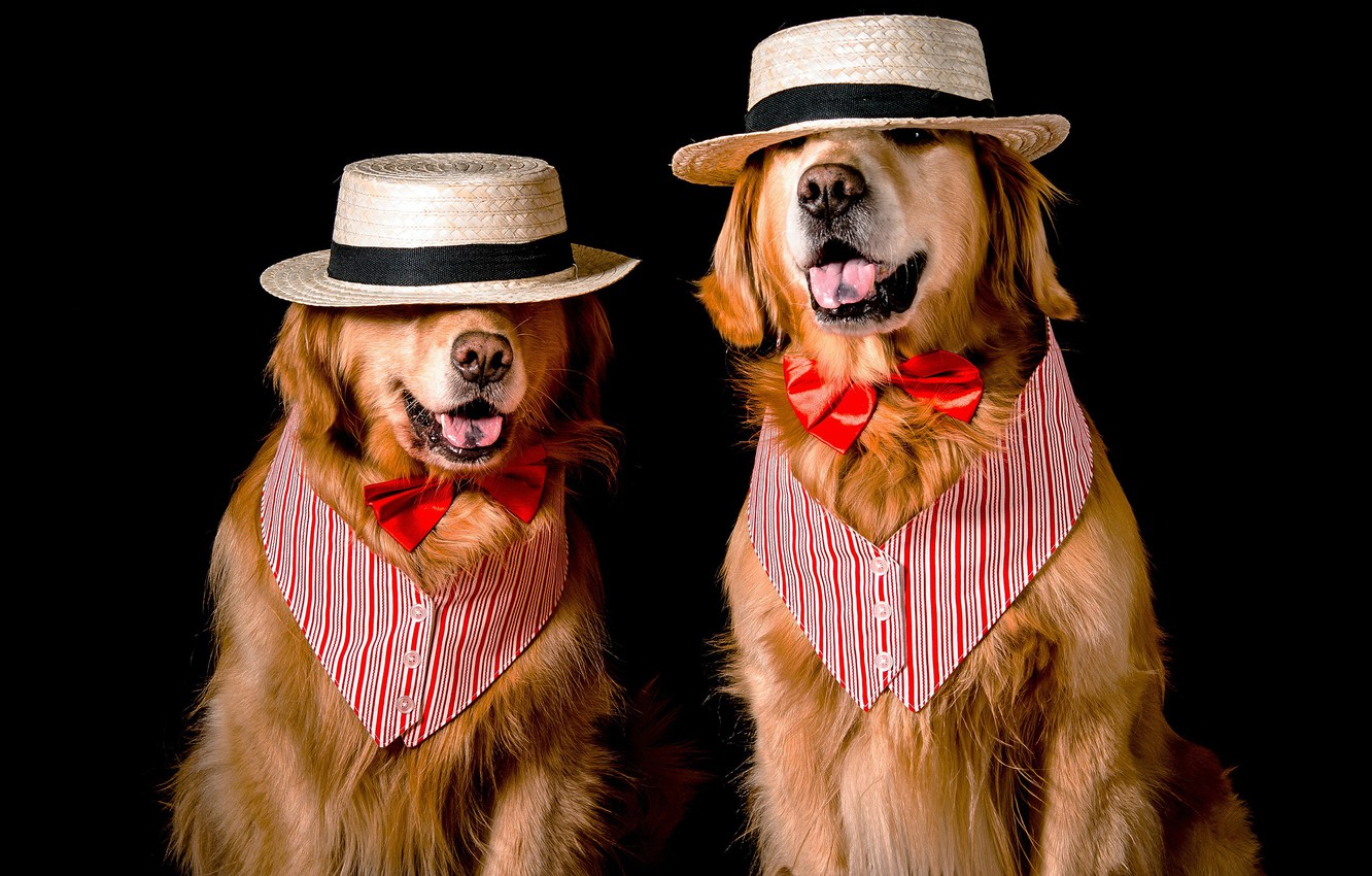 Photo wallpaper language, dogs, face, butterfly, two, dog, hat, pair, costume, outfit, image, black background, two, a …
