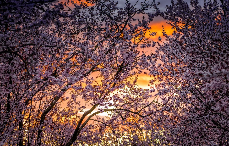 Photo wallpaper trees, cherry, spring, garden, flowering