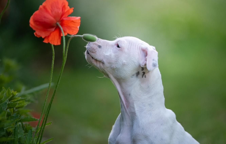 Photo wallpaper flower, background, Mac, dog, Staffordshire bull Terrier