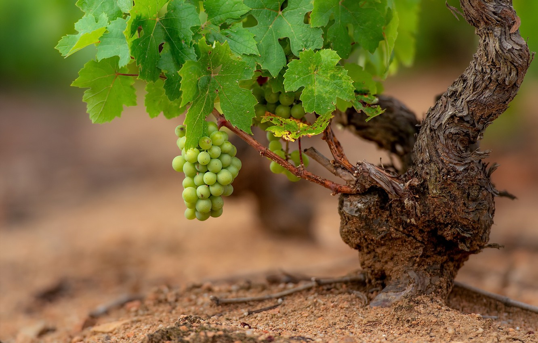 Photo wallpaper nature, grapes, vine