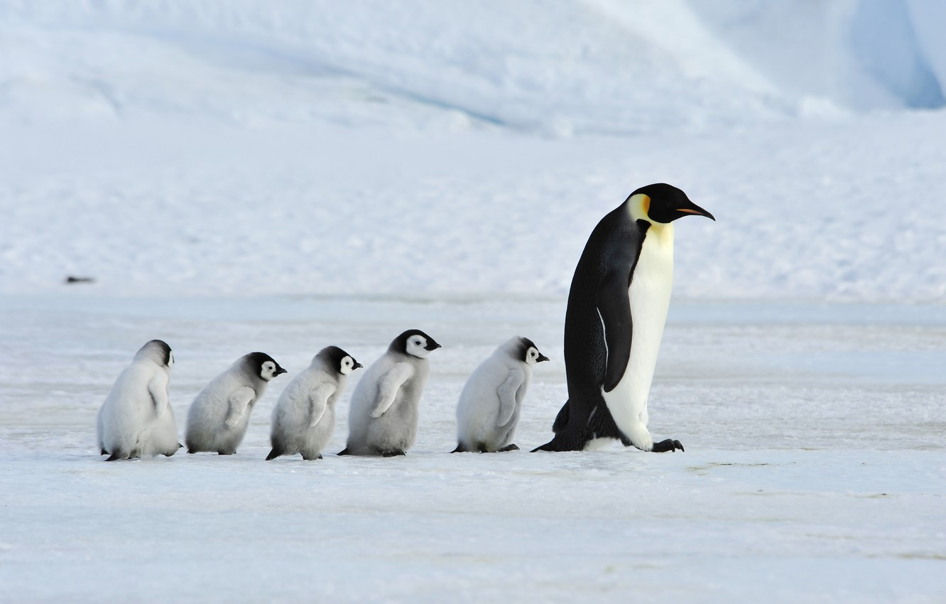 Photo wallpaper father, family, mother, Emperor Penguins