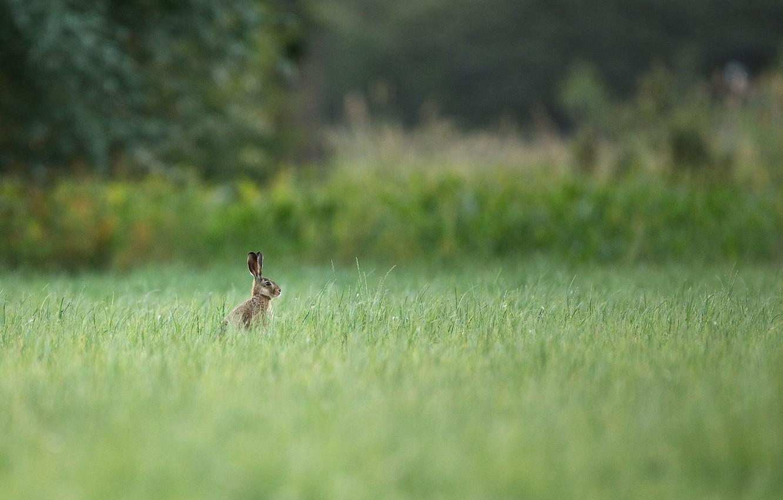 Photo wallpaper summer, grass, trees, nature, hare