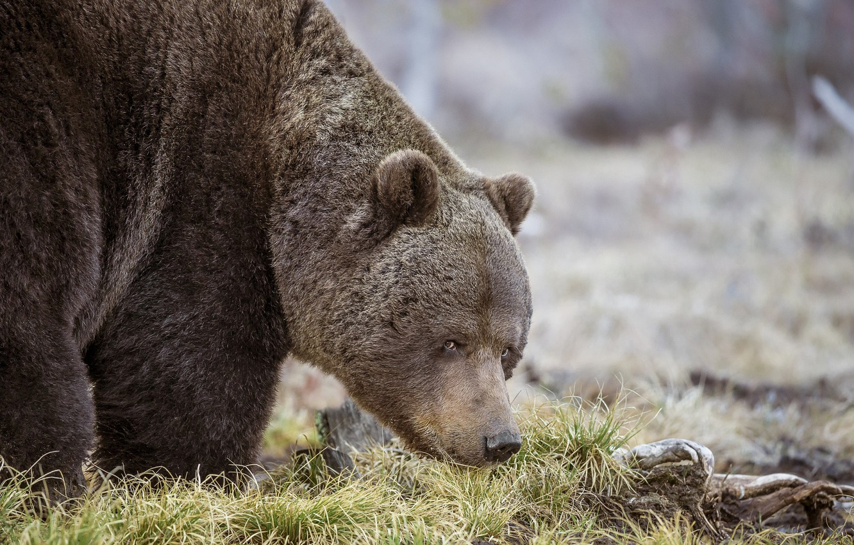 Photo wallpaper grass, look, nature, animal, predator, bear, Sergey Kulikov