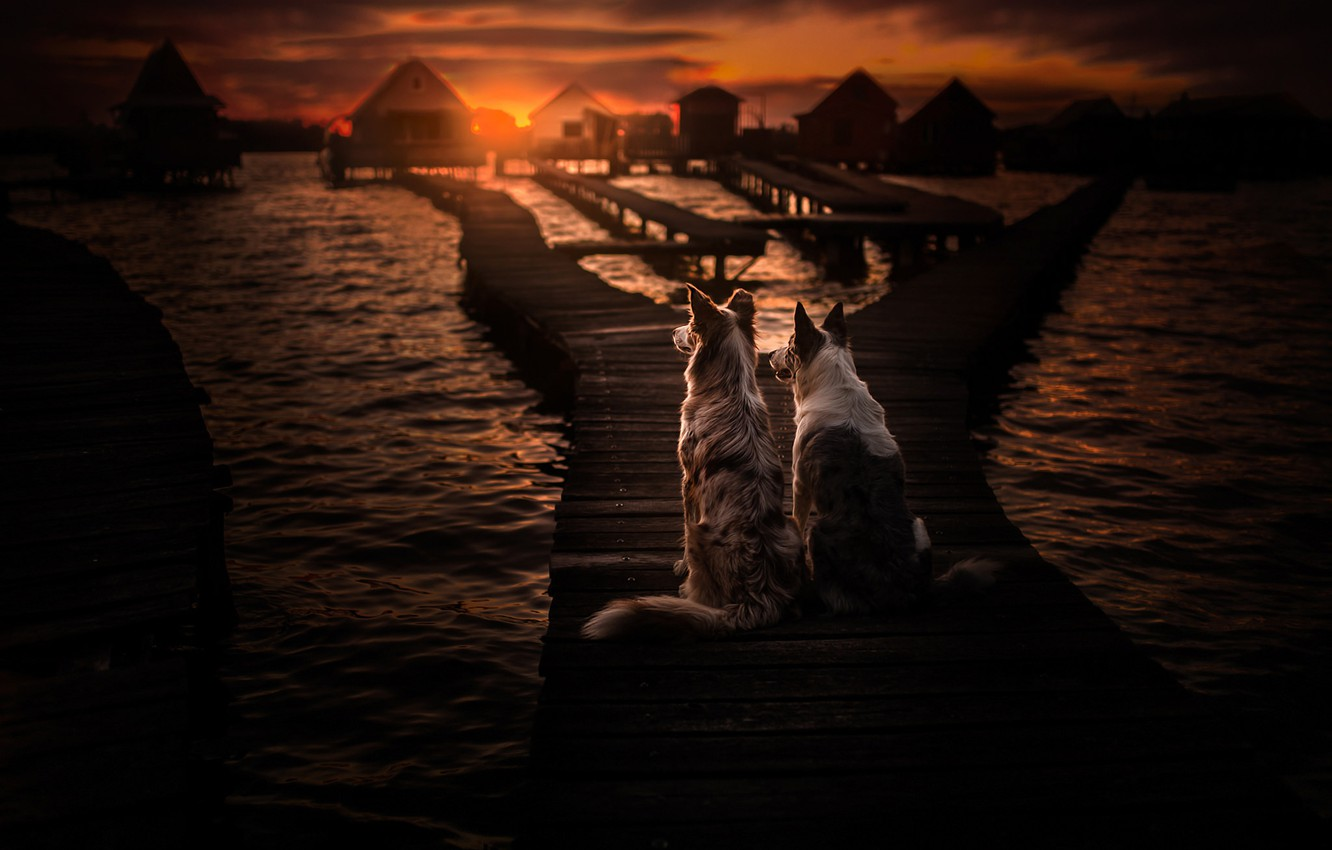 Photo wallpaper sea, dogs, sunset, pair, bridges, two dogs, The border collie