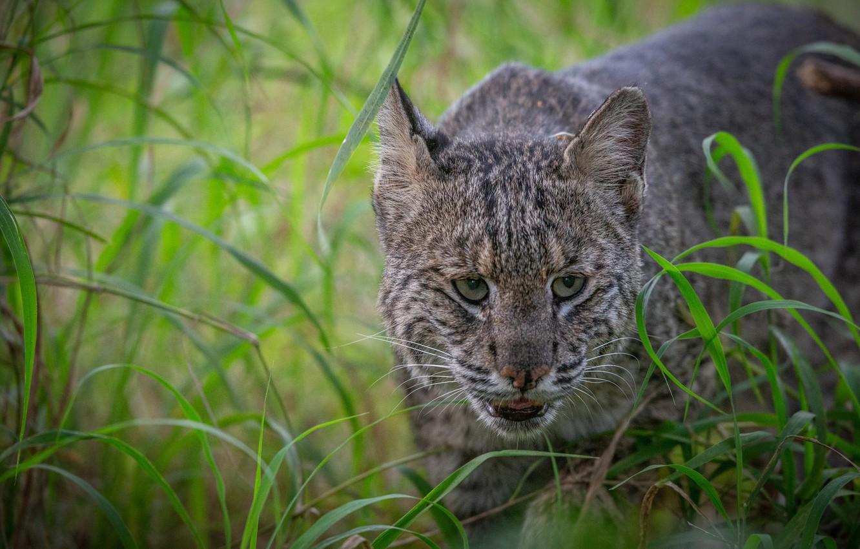 Photo wallpaper grass, face, lynx, wild cat